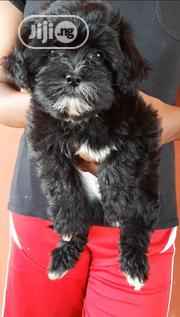Young Male Purebred Lhasa Apso | Dogs & Puppies for sale in Edo State, Oredo