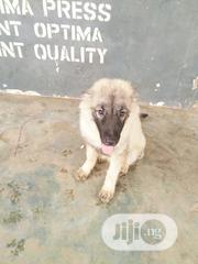 Young Male Purebred Caucasian Shepherd Dog | Dogs & Puppies for sale in Edo State, Oredo