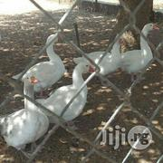 Goose/ Geese For Sale | Livestock & Poultry for sale in Plateau State, Jos South