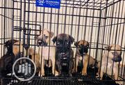 Baby Male Purebred Bullmastiff | Dogs & Puppies for sale in Edo State, Ovia North East