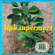 Apple Seedlings Or Apple Seeds Organic Apple Seed And Seedling | Feeds, Supplements & Seeds for sale in Plateau State, Jos