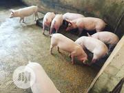 Pigs For Sale   Livestock & Poultry for sale in Ogun State, Ijebu East