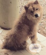 Adult Male Purebred Chow Chow | Dogs & Puppies for sale in Abuja (FCT) State, Kuje