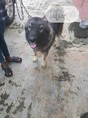 Adult Male Purebred Caucasian Shepherd Dog | Dogs & Puppies for sale in Lagos State, Alimosho