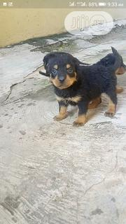 Baby Male Purebred Rottweiler   Dogs & Puppies for sale in Oyo State, Oluyole