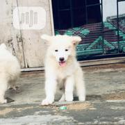 Young Male Purebred American Eskimo Dog | Dogs & Puppies for sale in Lagos State, Shomolu