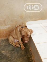 Baby Male Purebred Boerboel   Dogs & Puppies for sale in Ogun State, Ifo