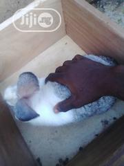 Chinchilla | Other Animals for sale in Oyo State, Ibadan North