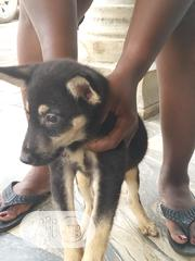 Baby Male Purebred German Shepherd Dog   Dogs & Puppies for sale in Rivers State, Port-Harcourt