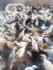 9weeks Local Turkeys For Sale | Livestock & Poultry for sale in Oyo State, Lagelu