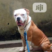 Very Fertile American Bulldog For Stud Service . | Pet Services for sale in Lagos State, Alimosho