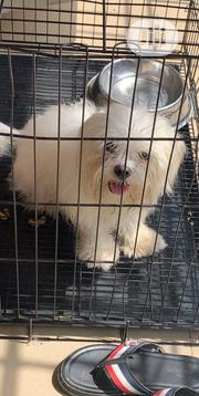 Adult Male Purebred Bolognese   Dogs & Puppies for sale in Delta State, Uvwie