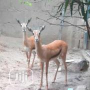 Antelope N Gazelle | Livestock & Poultry for sale in Abuja (FCT) State, Kubwa