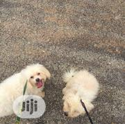 Adult Female Purebred Lhasa Apso   Dogs & Puppies for sale in Kwara State, Ilorin South