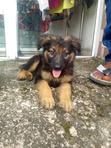 Baby Male Purebred German Shepherd Dog | Dogs & Puppies for sale in Ibadan North, Oyo State, Nigeria