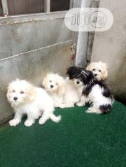 Young Male Purebred Lhasa Apso | Dogs & Puppies for sale in Rivers State, Port-Harcourt