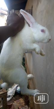 New Zealand White Matured And Active Buck Of 7 Months Old Available Fk | Other Animals for sale in Lagos State, Ikorodu