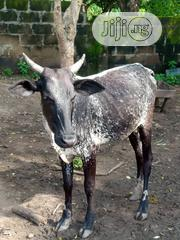 Cow For Sale | Livestock & Poultry for sale in Oyo State, Olorunsogo