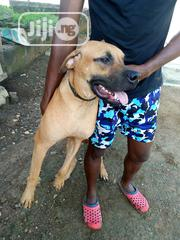 Adult Male Purebred Boerboel | Dogs & Puppies for sale in Oyo State, Ibadan North