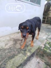 Adult Male Purebred Rottweiler | Dogs & Puppies for sale in Edo State, Egor