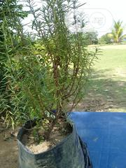 Rosemary Seedlings | Feeds, Supplements & Seeds for sale in Abuja (FCT) State, Jabi