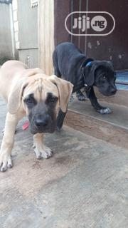Young Female Purebred Boerboel   Dogs & Puppies for sale in Oyo State, Ibadan North East