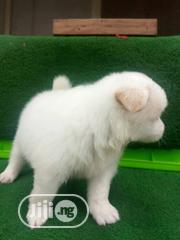 Baby Male Purebred American Eskimo Dog | Dogs & Puppies for sale in Ogun State, Abeokuta South
