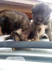 Baby Male Purebred Caucasian Shepherd Dog | Dogs & Puppies for sale in Edo State, Ikpoba-Okha