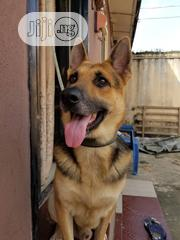 Adult Male Purebred German Shepherd Dog | Dogs & Puppies for sale in Lagos State, Ikorodu