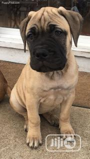 Baby Female Purebred Boerboel | Dogs & Puppies for sale in Edo State, Ikpoba-Okha