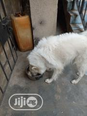 Adult Male Purebred Samoyed   Dogs & Puppies for sale in Lagos State, Gbagada