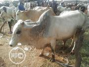 Big Cow | Livestock & Poultry for sale in Sokoto State, Sokoto North