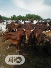 Brown Big Cows 1 | Livestock & Poultry for sale in Sokoto State, Sokoto North