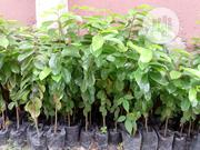 Soursop Seedlings (Sawashop) | Feeds, Supplements & Seeds for sale in Delta State, Uvwie