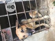 Adult Male Purebred German Shepherd Dog | Dogs & Puppies for sale in Oyo State, Ibadan South West