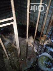 Young Male Mixed Breed German Shepherd Dog | Dogs & Puppies for sale in Rivers State, Obio-Akpor