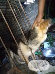 Senior Male Mixed Breed German Shepherd Dog | Dogs & Puppies for sale in Rivers State, Obio-Akpor