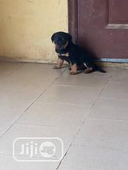 Baby Male Purebred Rottweiler | Dogs & Puppies for sale in Lagos State, Surulere
