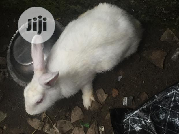 Archive: Female Rabbit For Sale