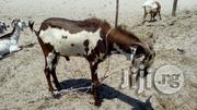 Goats For Sale   Livestock & Poultry for sale in Lagos State, Ikorodu