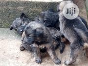 Baby Male Purebred German Shepherd Dog   Dogs & Puppies for sale in Lagos State, Agege