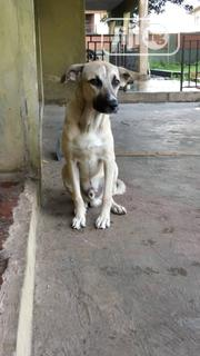 Young Male Mixed Breed   Dogs & Puppies for sale in Oyo State, Ibadan South West