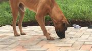 Adult Male Purebred Bullmastiff | Pet Services for sale in Edo State, Uhunmwonde