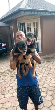 Baby Female Purebred Rottweiler | Dogs & Puppies for sale in Oyo State, Ibadan South East