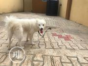 Adult Male Purebred American Eskimo Dog | Dogs & Puppies for sale in Oyo State, Ibadan North East