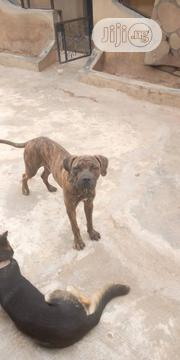 Adult Male Purebred Boerboel | Dogs & Puppies for sale in Oyo State, Ibadan North East