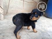 Baby Male Purebred Rottweiler | Dogs & Puppies for sale in Lagos State, Shomolu