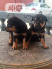 Young Female Purebred Rottweiler | Dogs & Puppies for sale in Rivers State, Port-Harcourt