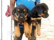 Baby Male Purebred Rottweiler | Dogs & Puppies for sale in Enugu State, Enugu East