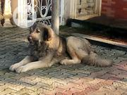 Adult Male Purebred Caucasian Shepherd Dog | Dogs & Puppies for sale in Rivers State, Obio-Akpor